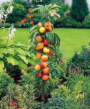 Обрезка колоновидных яблонь. Яблоня колоновидная, выбираем сорт