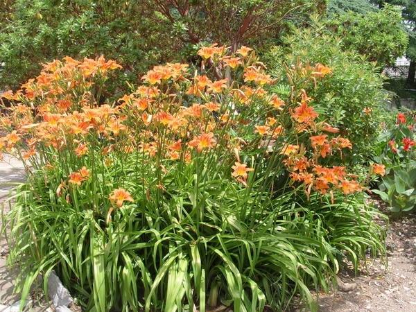 Лилейник – солитер в оформлении угла сада