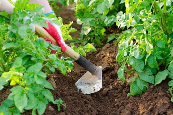 Фото окучивания картофеля, ogorod.usadbaonline.ru