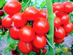 какие томаты самые урожайные