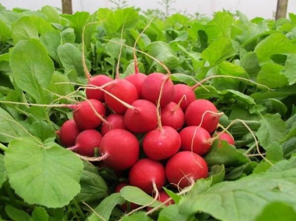 Селеста f1 – особенности сорта