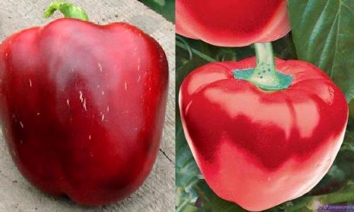 На фото сорт перца Колобок - хорошо растет в Сибири